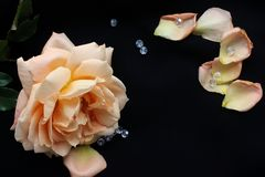 Creamy rose on black background Stock Photo