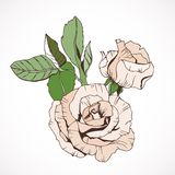 Creamy Rose branch, isolated. Hand drawn Royalty Free Stock Image
