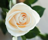 Creamy rose close up Stock Photography