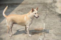 Creamy Thai dog standing Stock Photos