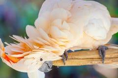 Creamy white cockatoo. Of Bali Bird Park, Indonesia Royalty Free Stock Photos