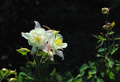 Creamy white columbine flowers Stock Image