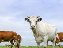 Creamy white cow with half horns and gray eye spots, in a meadow with other cows, a pale blue sky. Creamy white cow with half horns and gray eye spots, in a royalty free stock image