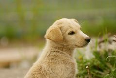 Creamy white dreaming dog puppy sitting on a grass Royalty Free Stock Photography