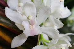 Creamy white flower of Cymbidium Sarah Jean boat orchid. Cloudy day sunshine royalty free stock photos