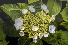 Creamy white flowers and small blue colored buds of a Hydrangea shrub from close stock photos