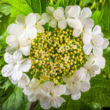 Creamy-white flowers of viburnum, close-up Stock Photo