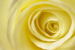 Creamy White Rose Close Up Stock Photo