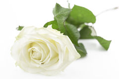 Creamy white rose Royalty Free Stock Photography