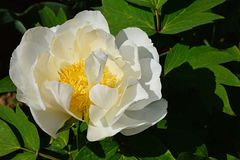 Creamy white to yellow coloured flower of tree peony Paeonia suffruticosa. During spring season Stock Photo