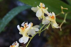 Creamy white to yellow little scenty flower of Oncidium kind, with delicate chocolate smell. Natural sunlight stock photos