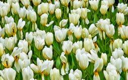 Creamy yellow tulips stock photos