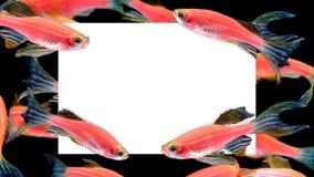 Creatieve die lay-out van Vele oranje gestreepte vissen met document spatie wordt gemaakt stock fotografie