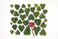 Creatieve regeling van alba cornus van kornoelje groene bladeren Royalty-vrije Stock Afbeeldingen