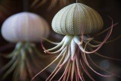 Creatieve succulente decoratie in zeeëgelshell stock afbeeldingen