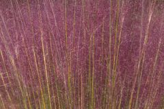Pink Hair Grass for a Textured Background. Creating a frame full of color, this pink hair grass makes for a beautiful, natural pink and lavender background for Stock Images