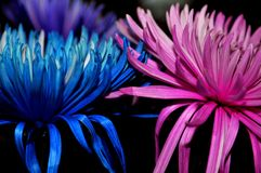 `Be Gentle, Love and Stay together` Blue and Pink flower kept together to create an inspirational image. Creative Blue and Pink color flower keeping soft touch stock image