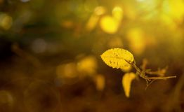 Creative concept  Rainbow rays, yellow maple leaf, out of focus. Creative concept Rainbow rays, yellow maple leaf, out of focus background for creatives and Royalty Free Stock Image