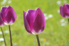 Tulips against green, Concept of Spring royalty free stock photography