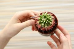 Creative flat lay of woman hand holding small pot with green decorative cactus plant isolated on background in minimalism style royalty free stock images