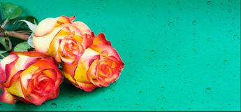 Creative fresh beautiful rose lying on paper background with with water drops. Copy space for text. Front view, close up. royalty free stock image