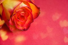 Creative fresh beautiful rose lying on bokeh paper background with copy space for text. Front view, close up. royalty free stock image