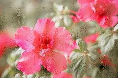 Creative hazy flowers. Through secondary exposure of flowers, the flowers are placed behind the droplets formed a kind of creative hazy beauty Royalty Free Stock Photos