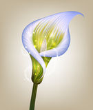 Creative  illustration of purple calla lily flower Royalty Free Stock Photography