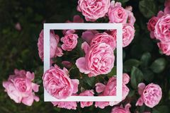 Creative and nature concept. Flowers of pink rose with paper card frame for text.  stock photos