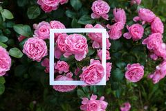 Creative and nature concept. Flowers of pink rose with paper card frame for text.  stock images