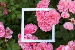 Creative and nature concept. Flowers of pink rose with paper card frame for text.  royalty free stock image