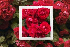 Creative and nature concept. Flowers of red rose with paper card frame for text.  royalty free stock photography
