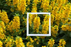 Creative and nature concept. Paper card frame for text agnist of yellow flowers.  royalty free stock photography