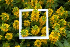 Creative and nature concept. Yellow flowers with paper card frame for text. Creative and nature concept. Yellow flowers with paper card frame for text stock images