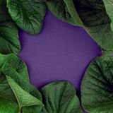 Creative nature leaves layout. Supernatural concept, ultra violet colors background, fashion style, minimal summer, copy space, gr. Eenery frame Stock Images