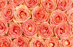 Creative rose background Royalty Free Stock Photography