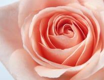 Creative rose background Stock Image
