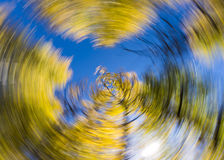 Creative spin effect on Aspen Trees Royalty Free Stock Images