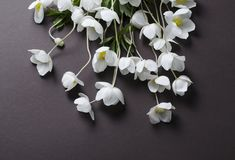 Creative top view layout with White Anemone flowers on a black background. Minimalist background. Stock Photography