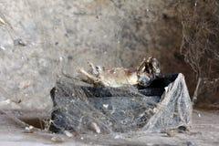 Creatura morta dietro la rete del ragno Fotografia Stock