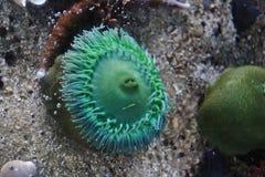 Creatura nell'acquario di Vancouver, Vancouver, Columbia Britannica, Canada del mare immagini stock
