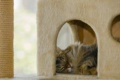 Creature Comfort: Sleeping Pixie Bob Cat Stock Photography