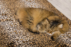 Creature Comforts: Pixie Bob Cat Asleep on Leopard Comforter. A Pixiebob cat with brown and black fur and wild ear tufts sleeps cozy and comfortably on a leopard Royalty Free Stock Photo