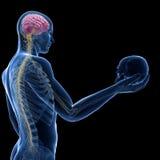 Cérebro e nervos visíveis Fotografia de Stock Royalty Free