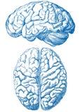 Cérebro humano Imagem de Stock Royalty Free