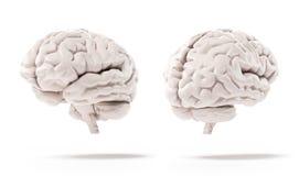 Cérebro humano Imagens de Stock