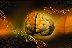 Cérebro humano e ADN Fotos de Stock
