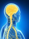 Cérebro masculino Imagens de Stock Royalty Free