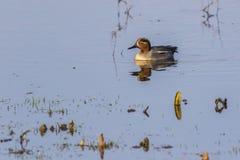 Crecca commun d'ana de sarcelle d'hiver sur un étang Images stock