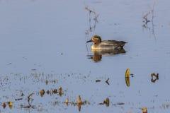 Crecca commun d'ana de sarcelle d'hiver sur un étang Photos libres de droits